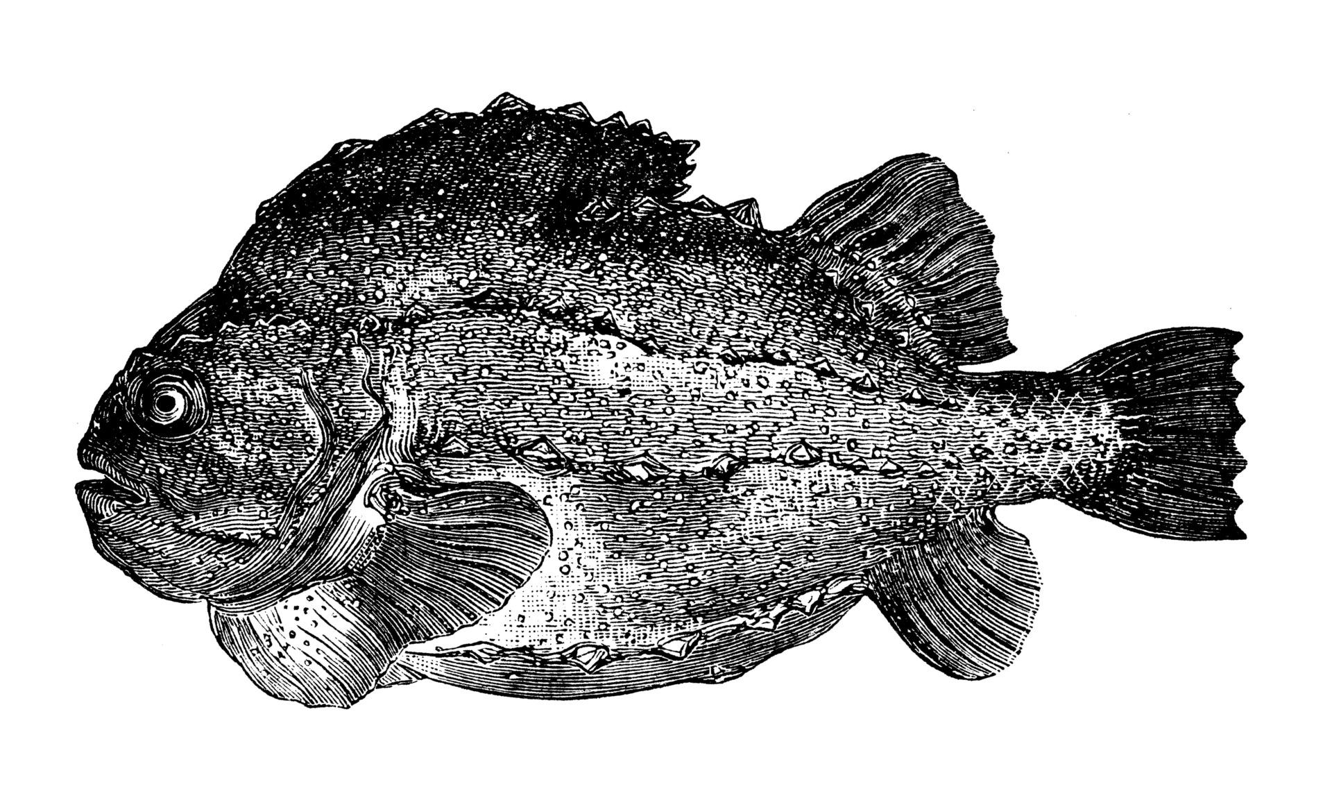 Lumpfish - lumpfish roe