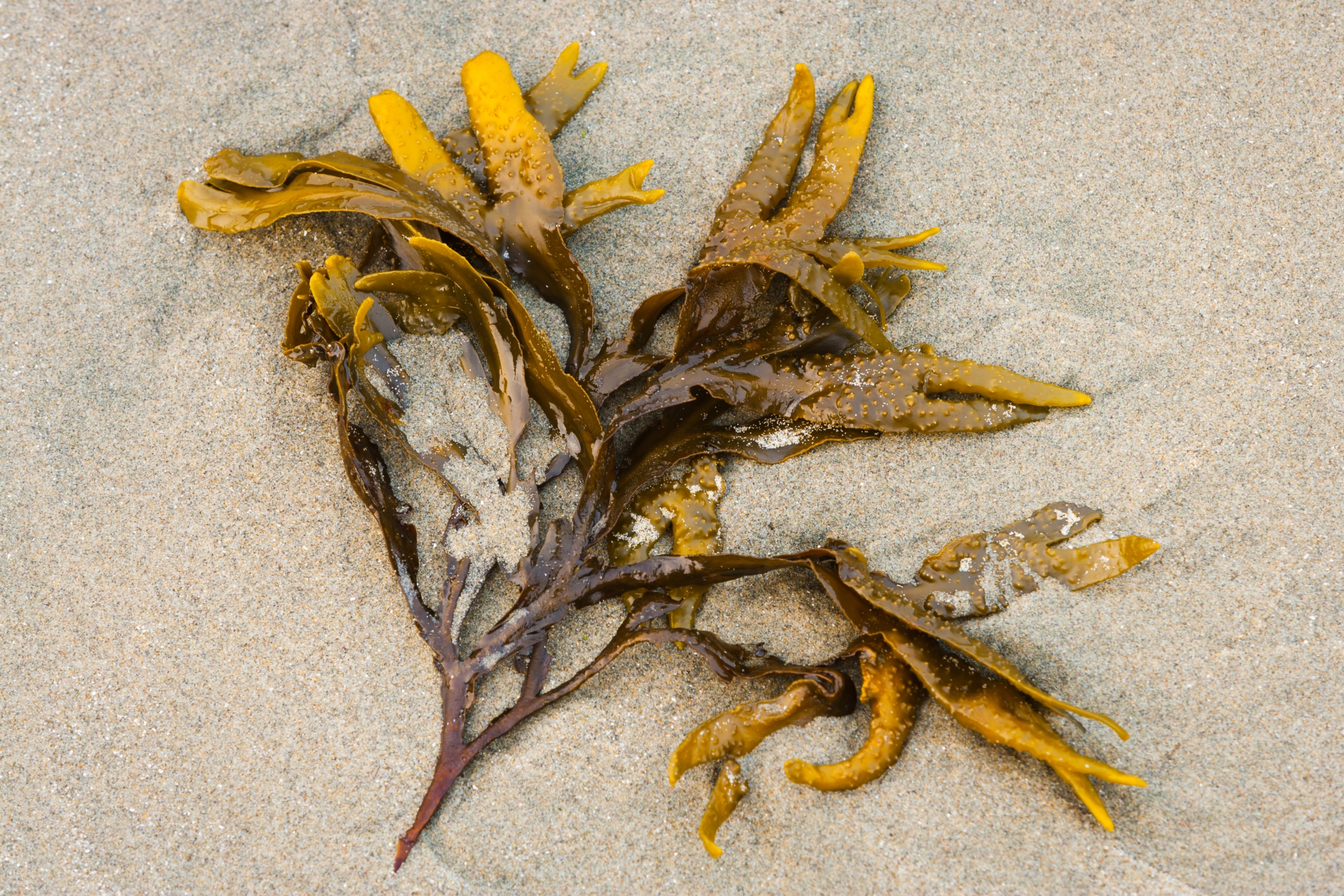 Kelp on the beach